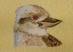 sonya-kookaburra