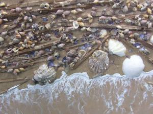 olgao-shells