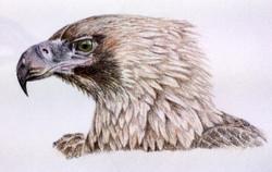sonya-eagle