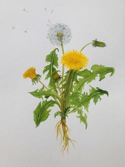 lone-white-dandelion-june2021