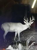 Opto deer Night Cam Velvet Buck Pic.jpg