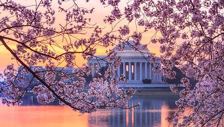 Cherry blossoms on trees around the Tida