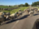 Herd of Dutch sheep just outside Amsterdam