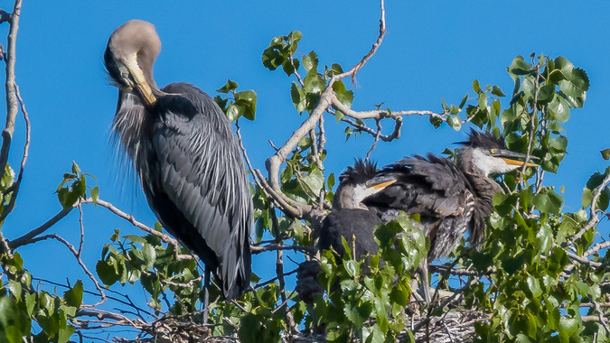 The Rookery - Nest Building