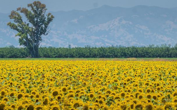 Sunflower Field Near Davis