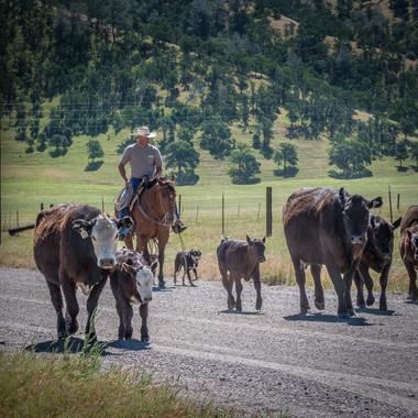 Bear Valley, near Williams - Herding Cattle