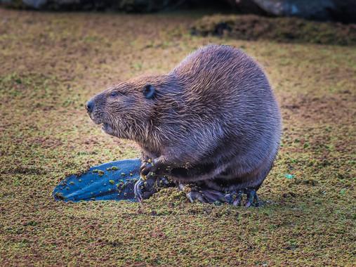 Angler's Cove - Beaver