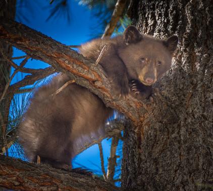 South Lake Tahoe - A Little Bear