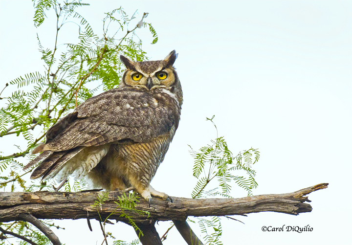 Great Horned Owl G-18