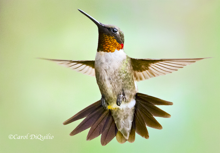 Ruby-throat Hummer R-37