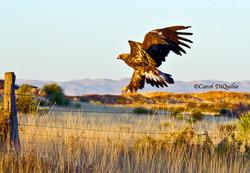 Golden Eagle/mts G-7