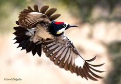 Acorn Woodpecker A-11