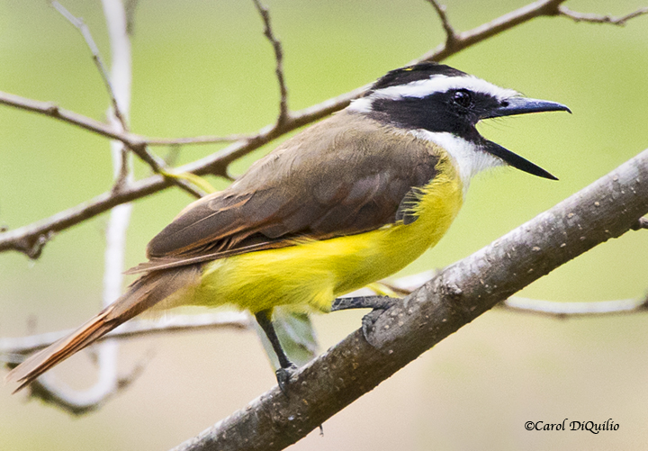 Great Kiskadee K-3