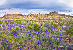 Big Bend Bluebonnets B-30