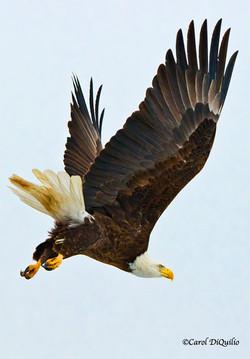 Bald Eagle B-45