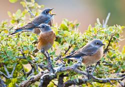 Western Bluebirds W-13