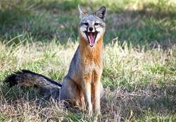 Gray Fox yawning F-14