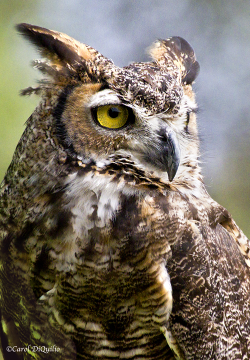 Great Horned Owl G-17