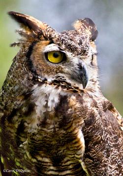 Great Horned Owl G-17