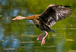 Whistling Duck W-14