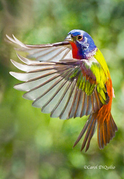 Painted Bunting P-22