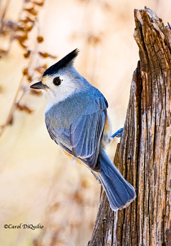 Black-crested Titmouse T-11