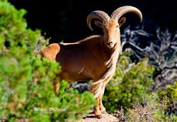 Barbary Sheep B-4