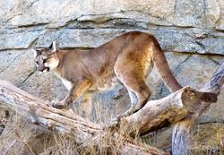 Mountain Lion M-5