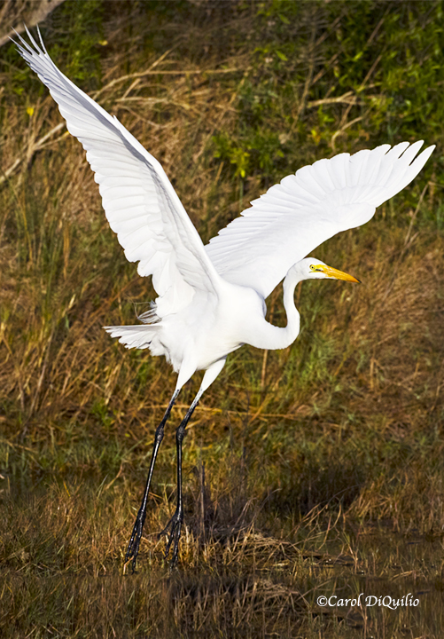 Great Egret E-3