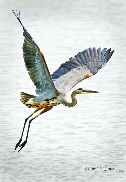 Great Blue Heron G-6