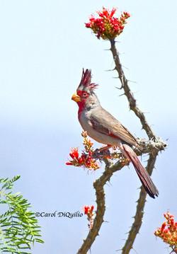 Desert Cardinal D-1