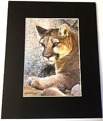 matted 8x10 mt lion.jpg