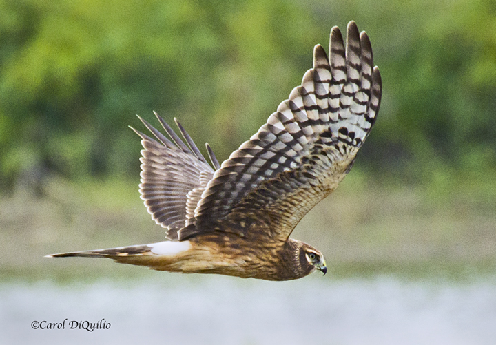 N-1 Northern Harrier