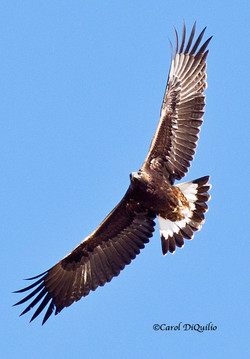 G-11 Golden Eagle in the sky