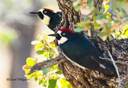 A-4 Acorn Woodpeckers in Oak