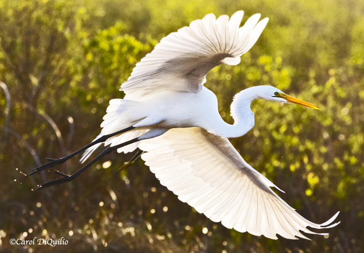 Great Egret E-4