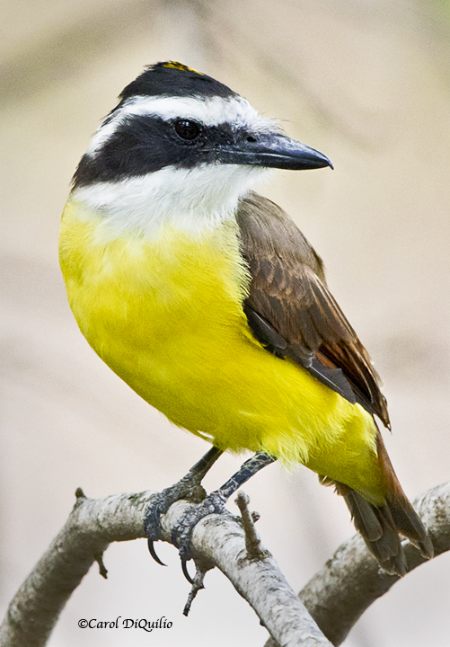 Great Kiskadee K-4