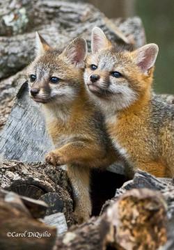 Gray Fox Cubs FB-11