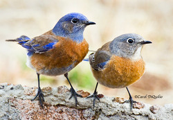 Western Bluebirds W-12