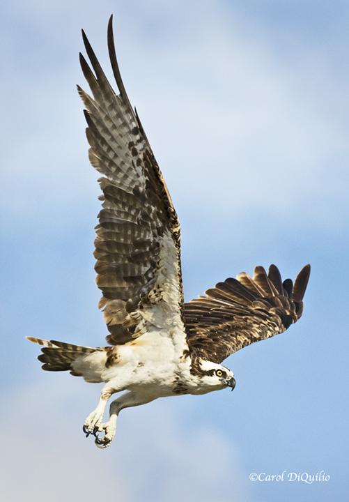 Osprey O-3