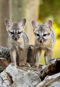 Gray Fox cubs FB-7