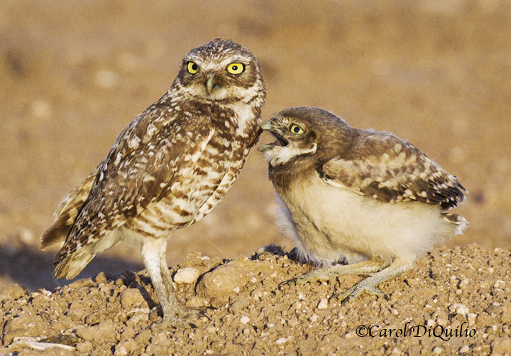 Burrowing Owls B-13