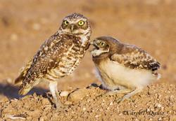 Burrowing Owls B-13