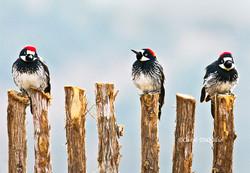 Acorn Woodpeckers on cedar A-9
