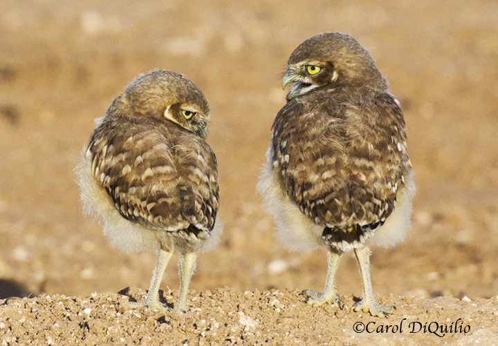 Burrowing Owl babies B-11