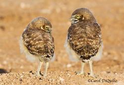Burrowing Owl babies B-11
