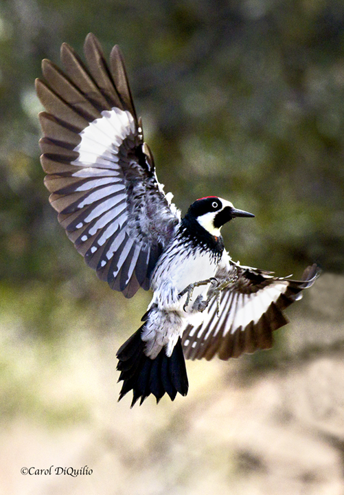 Acorn Woodpecker A-10