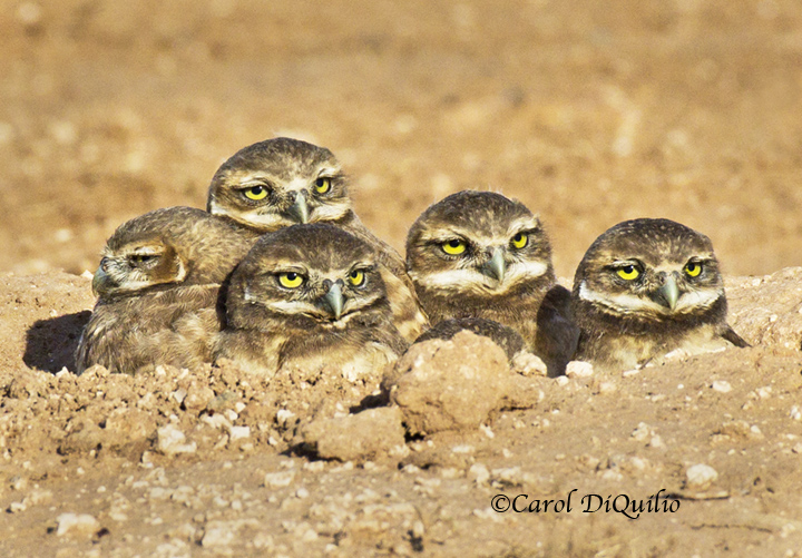 Burrowing Owl babies B-9