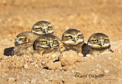 Burrowing Owl babies B-9