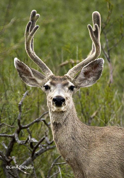 Mule Deer M-8